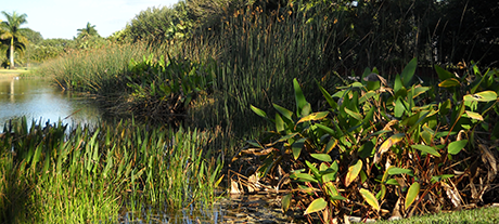 An example of wetland mitigation in Davie, Florida.