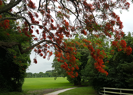 Davie's Robbins Lodge Park with Royal Poinciana in full bloom